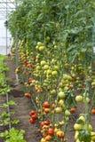 Tomates y ensalada foto de archivo