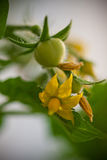Tomates y flores de cereza fotografía de archivo