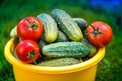 Tomates y pepinos maduros rojos recientemente escogidos Imagen de archivo libre de regalías
