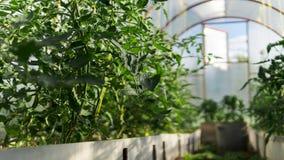 Tomates y pimientas verdes en un invernadero sin la gente imagen de archivo libre de regalías