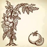 Tomatfrunch Arkivfoto