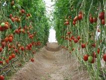 Tomatgränd i trädgården i eftermiddagen Arkivfoton