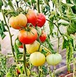 Tomatgrupp i växthus Royaltyfri Fotografi