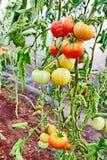 Tomatgrupp i växthus Royaltyfria Bilder
