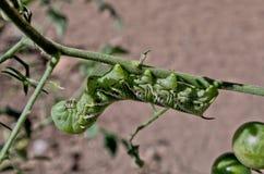 Tomathornwormlarver Arkivbilder