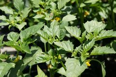 Tomatillo, Physalis philadelphica Royalty Free Stock Image