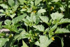 Tomatillo Physalisphiladelphica Royaltyfri Bild