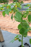 Tomatillo Plant Royalty Free Stock Photo
