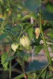 Tomatillos che pende dalla pianta fotografia stock libera da diritti