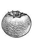 Tomatillustration, teckning, gravyr, linje konst, grönsak, vektor Vektor Illustrationer
