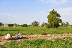Tomatlantgård i Jordanien Arkivbild