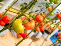 Tomato 07 Royalty Free Stock Photos