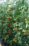 Tomato. Production in green house Royalty Free Stock Photography