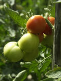 Tomato. The fresh green and red tomato Royalty Free Stock Photos