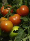 Tomato. A group of red tomato Royalty Free Stock Photos