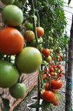 Tomato. Production in green house Stock Photo