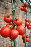 Tomato. Production in green house Stock Image