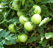 Tomato. Green tomatoes in tomato field Royalty Free Stock Image