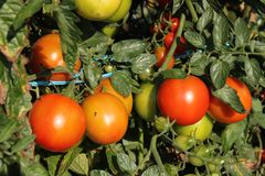 Free Tomato Stock Photography - 16148702
