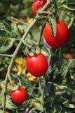Tomato. Fresh tomato in an organic vegetable garden Stock Image