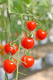 Tomato. Red tomato in the garden Stock Image