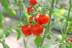 Tomato. Many tomato in the garden Stock Photography