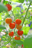 Tomato. Many tomato in the garden Royalty Free Stock Image