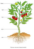 Tomato. Basic structure o the plant (tomato Royalty Free Stock Photos