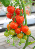 Tomato. Multicolored of tomato in park Royalty Free Stock Image