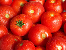 Tomato. Ripe tomatoes with water droplets Stock Photography