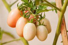 Tomato. A bunch of tomatoes still hanging from its tree Stock Photography