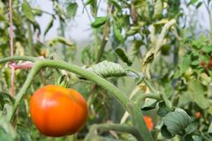 Tomato. Plants with s at august Stock Photo