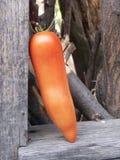 Tomato. Bulgarian Tomato stock image