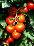 Tomato. Production in green house Royalty Free Stock Photo