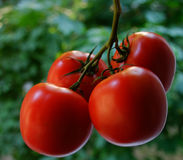 Tomato. Fresh tomatos on a green background Royalty Free Stock Images