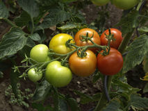 Tomato. The some fresh big red tomato in the garden Royalty Free Stock Photos