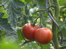 Tomato. The two big fresh tomato in the garden Stock Image