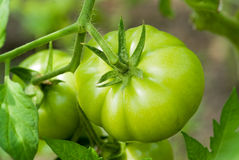 Tomato. Green tomato in the garden Stock Image