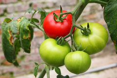 Tomato agriculture Royalty Free Stock Photography