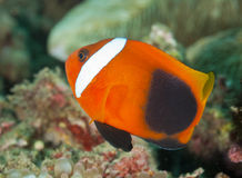Tomato Anemonefish Royalty Free Stock Photography