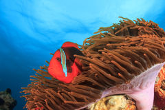 Tomato Anemonefish Stock Photos