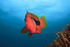 Tomato Anemonefish Stock Photo