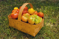 Tomato Basket. Basket full of tomatoes on the grass Royalty Free Stock Photos