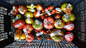 Tomato in basket 1. Tomatoes, cucumbers and chili on roks Royalty Free Stock Images