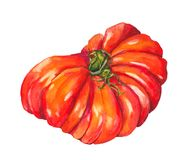 Tomato Beef heart. Watercolor Stock Images