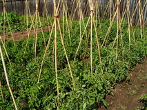 Tomato bio garden Stock Photos