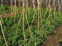 Tomato bio garden. Tomato plants with wooden poles, grown 100% bio and natural Stock Photos