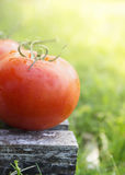 Tomato on box in sunny garden Royalty Free Stock Photography