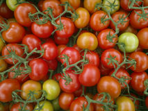 Tomato on the branc,  fresh harvest from garden Royalty Free Stock Photo