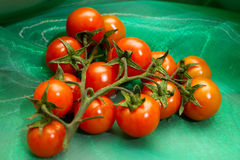 Tomato branch Royalty Free Stock Image